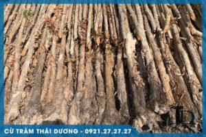 Cừ tràm dài gốc 7-9cm